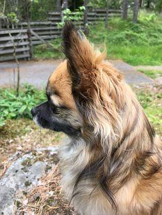 Chihuahua Dogs, Animals, Animales, Animaux, Chihuahua, Animal, Chihuahuas, Animais