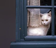 White cat, blue window by Shutterstock. Crazy Cat Lady, Crazy Cats, Animals And Pets, Cute Animals, Baby Animals, Cat Window, Photo Chat, Cat Dog, Tier Fotos