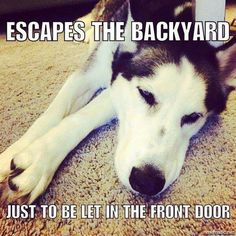 It's true, my husky used to do this. Now she waits at the backdoor to go out the front door.