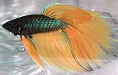 Types of Bettas, by colour, tailss, patterns and genetics.