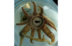 Welcome To The Nightmare World Of Sea Creatures With Human Teeth Promachoteuthis sulcus: The Deep Water Squid Weird Looking Animals, Creepy Animals, Ugly Animals, Unusual Animals, Rare Animals, Weird Ocean Animals, Ugliest Animals, Deep Sea Animals, Odd Animals