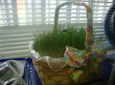 How to grow a lovely basket of easter wheat grass. it worked great. stuck some chocolate bunnies and eggs on skewers and it made the cutest centrepiece ever.