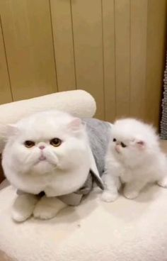 Cute Puppies And Kittens, Cute Baby Cats, Cute Baby Animals, Kittens Cutest, Animals And Pets, Cats And Kittens, Funny Animals, Funny Cat Memes, Funny Cats
