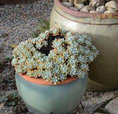 Dudleya traskia - Santa Barbara Dudleya | by Pete Veilleux Flickr - Photo Sharing!