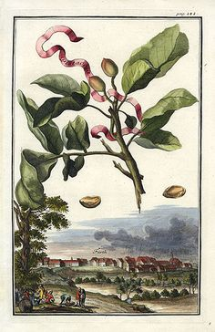Fruit Prints from Volckhamer 1708