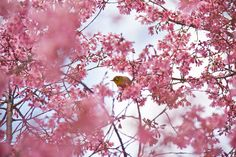 Cherry blossoms in kyoto,japan Kyoto Japan, Gods Creation, Pink Love, Pretty Flowers, Cherry Blossoms, Nature, Pictures, Spaces, Weddings
