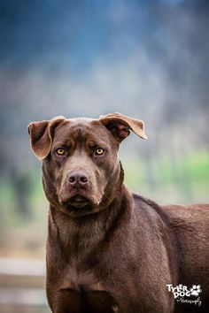Holmes is an adoptable Labrador Retriever searching for a forever family near Tulsa, OK. Use Petfinder to find adoptable pets in your area.