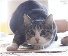 For all cat lovers we have collected Best most funniest cat GIFs cats are adorable and some times they really to some really funny things, luckily we have collected the best moments and worst momen…