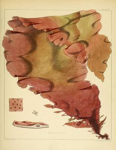 [][][] Halymenia latissima (algae) from:  The botany of the Antarctic voyage of H.M. discovery ships Erebus and Terror in the Years 1839-1843. v.1. plates. London :Reeve Brothers,1844-60.