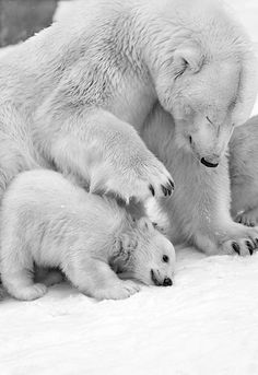 It's just something about them... polar bears :) bhalu