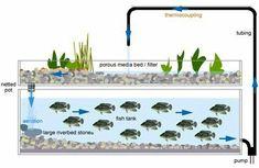 Aquaponic Berkebun dan Membesarkan Ikan Secara Bersama-sama Mudah Praktis ~ Rumah Cherish 88