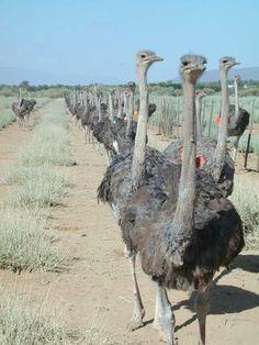 Klein Karoo ostrich farming