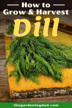 Learn the basics of How to Grow & Harvest Dill. This Beginner's Guide to Dill will give you easy tips for planting and growing a great dill garden!
