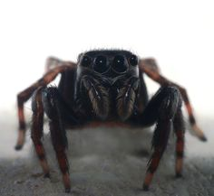 Not sure what kind of Jumping spider this is. I had so much fun photographing this spider! I've noticed Jumping spiders look right into your eyes or lens when you're close to them. It's always very humbling photographing jumping spiders. I was sad to set him free when I was done with him.