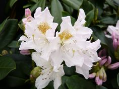 Rhododendron 'Cunningham's White' Large Flowered Evergreen Hybrids