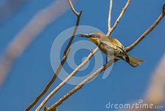 Bee-eater bird with insect