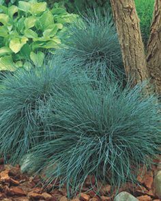 Festuca glauca Elijah Blue - Fescue - Pack of THREE - Ornamental Grasses - Garden Plants Grass Seed, Blue Fescue, Grass, Hardy Perennials, Ornamental Grasses, Perennials, Plants, Fescue Grass, Grasses Garden