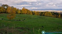 Dairy cows and fall foliage around Montpelier.   #foliage #fallfoliage #vermont #newenglandphotography #newengland #landscape #newengland_photography #ScenicVermontPhotography #ScenicVermont #VT #welovermont  Feel free to visit my website - http://ift.tt/2aTNg7U