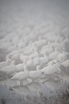 Check out these images of snow I rounded up earlier today. Weekly Photography Challenge - Snow White This week your chal. All White, Pure White, Wild Life, Winter White, Snow White, The Wild Geese, Snow Goose, Digital Photography School, Photography Challenge