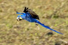 Hyacinth Macaw Diet Related Keywords & Suggestions - Hyacinth ...