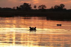 Golden hippo pond in the Okavango Delta sunset.