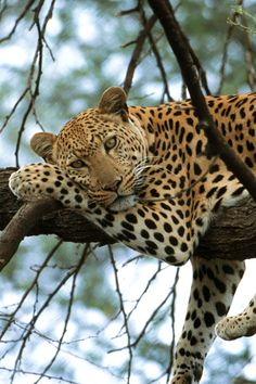 The Leopard ~ tends to favor rocky landscapes w dense brush and riverine forest, but are highly adaptable to many places..