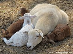 Clare Elizabeth and her triplets from Random Lamb Snaps - 11 favorite photos and the final 2012 lambing season report