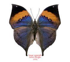Kallima inachus (India) A-