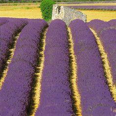 Lavender:  #Lavender field.
