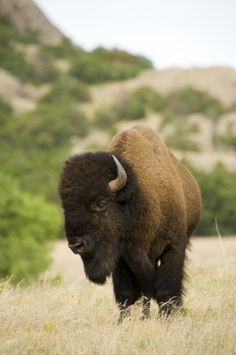 From the safety of your car, view a free range herd of American Bison at the Wichita Mountains Wildlife Refuge & Visitors Center in southwest Oklahoma.