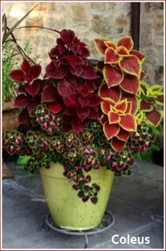 7 Are coleus plants poisonous? 8 Where does coleus plant grow? 9 What are the benefits of coleus plants? Companion plants Coleus is often used as ornamental plants because Container Flowers, Flower Planters, Shade Plants Container, Fall Flower Pots, Evergreen Container, Shade Garden Plants, Succulent Containers, Pot Jardin, Ornamental Plants