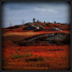 11-10-2014  Blueberry Fields Forever ~ The amazing autumn colors of the local blueberry fields. Blueberry Hill Road, Friendship, Maine.*** POSTCARDS FROM FRIENDSHIP. A pic a day served fresh daily from Friendship Maine. SuperHumanNaturals.com *** #toothsoap #cure #cankersores