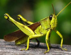 Google Image Result for http://www.openideo.com/open/vibrant-cities/inspiration/grasshoppers-and-jumping-high/gallery/obscure-bird-grasshopper.jpg/