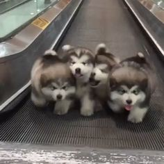 husky dogs Credit: Unknown [Thank you very much!] - Click Visit To Watch More Videos - Very Cute Puppies, Cute Husky Puppies, Cute Baby Dogs, Cute Funny Dogs, Cute Funny Animals, Puppies Puppies, Dachshund Puppies, Puppy Husky, Alaskan Malamute Puppies