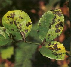 Milk and water to control black spot on roses
