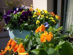 A burst of potted Spring colour! Spring Colors, Business Design, Vermont, Flower Power, Landscape Design, Landscaping, Colour, Flowers, Plants