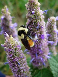 Wildflower Farm loves this native plant that reseeds and attracts butterflies and bees. Smells like licorice.