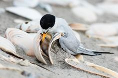 How I Learned to Safely Photograph Beach-Nesting Birds | This Least Tern chick, nestled between shells, is unusual; more typically, chicks lay exposed on bare sand. Photo: Jim Verhagen