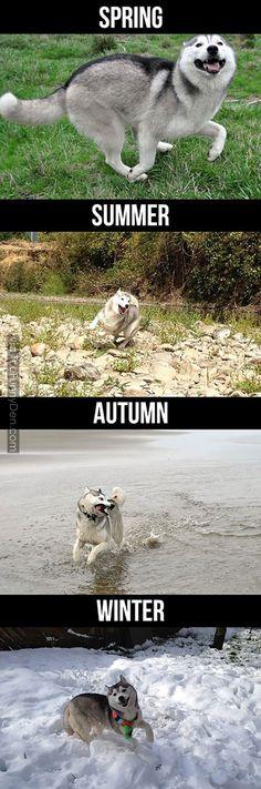 Humour funny husky playing seasons