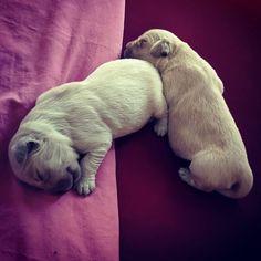 Sunday afternoon nap   #puppiesofinstagram #goldenretriever #lovechild #cutenessoverload #loveofmylife #puppylife Afternoon Nap, Love Of My Life, Folk, Sunday, Puppies, Children, Animals, Domingo, Toddlers