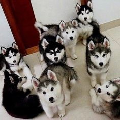 Wonderful All About The Siberian Husky Ideas. Prodigious All About The Siberian Husky Ideas. Malamute Husky, Siberian Husky Puppies, Husky Puppy, Siberian Huskies, Husky Mix, Pomeranian Puppy, Cute Puppies, Cute Dogs, Dogs And Puppies