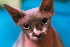 sphynx cats | Zonerama.com