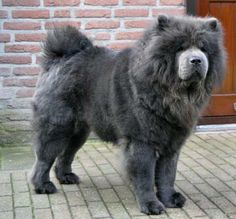 A rarer color of the Chow-Chow is the gray-blue color as can be seen this picture