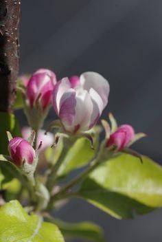 Malus domestica - green apple