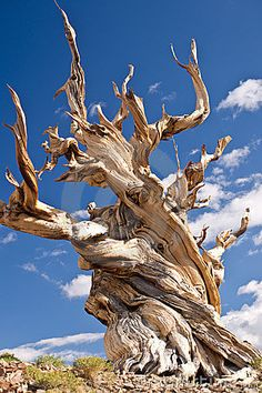 Bristlecone Pines are some of the oldest continually living organisms on Earth. They look like terrestrial tornadoes.
