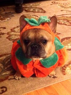 """""""Mom got a sewing machine, and I got this"""", Funny French Bulldog in a homemade Pumpkin costume ❤❤"""