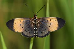 Black Tip Acraea or Black-tipped Acraea (Acraea caldarena) is a butterfly of the Nymphalidae family. It is found in southern and south-eastern Africa.
