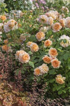 Роза Грейс от Дэвида Остина