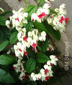 Lágrima de Cristo (Clerodendron thomsoniae)