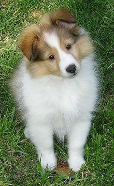1000+ images about Shelties on Pinterest | Shetland sheepdog, Collie ...